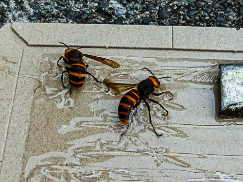 捕獲したスズメバチ