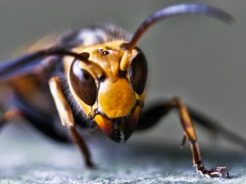 怖いスズメバチの顔